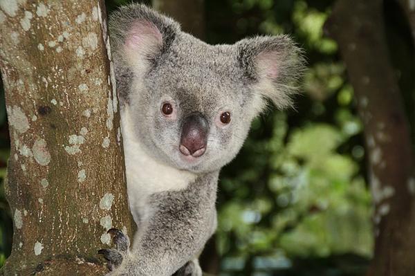 koala,travel,australia
