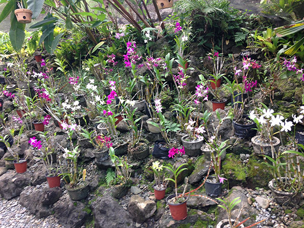 garden-of-sleeping-giant-fiji,orchids, travel