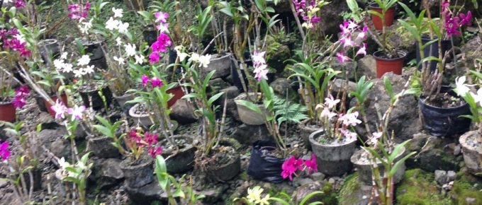 Orchids in the Garden of the Sleeping Giant – Fiji