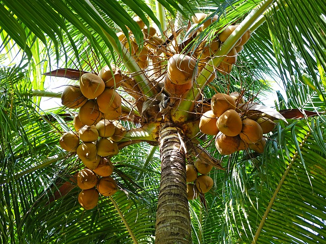 coconut-palm-tree, fiji, travel